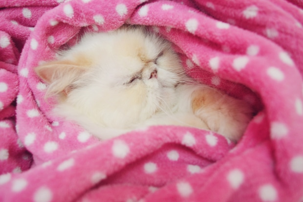 Close-Up Of Persian Cat Sleeping Under Pink Blanket