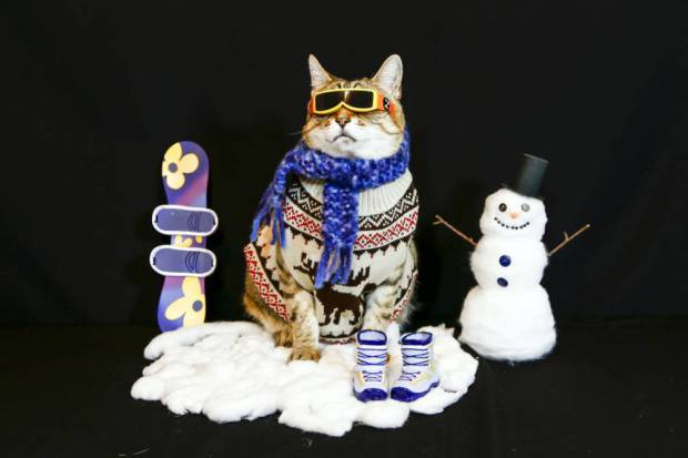 PIC BY HERVERT PHOTOGRAPHY / CATERS NEWS - (PICTURED: BooBoo the Tabby Cat dressed in winter apparel. ) -How meow-velous! This cute kitty likes his threads, but his owner has taken things to a whole new level. BooBoo the cat, 10, from Iceland, has been dressed up in a total of 75 different outfits since he was found by his owner Carla Hervert as a stray.Carla took inspiration from different hats that she found in second hand shops and used them as the basis for outfits, although at 17lbs she has found BooBoo is harder to dress than imagined. Most of BooBoos clothing has come from childrens hand-me-downs and has even worn clothes from kids aged four. SEE CATERS COPY.