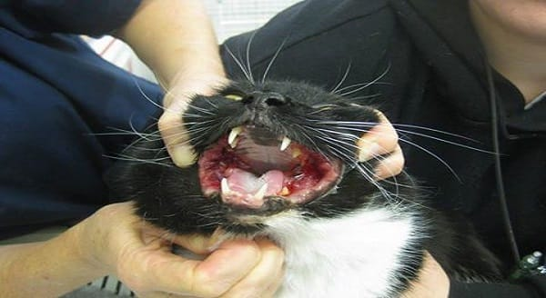 Stem Cell Treatment Effective On Cats May Soon Be Used on Treatment of People
