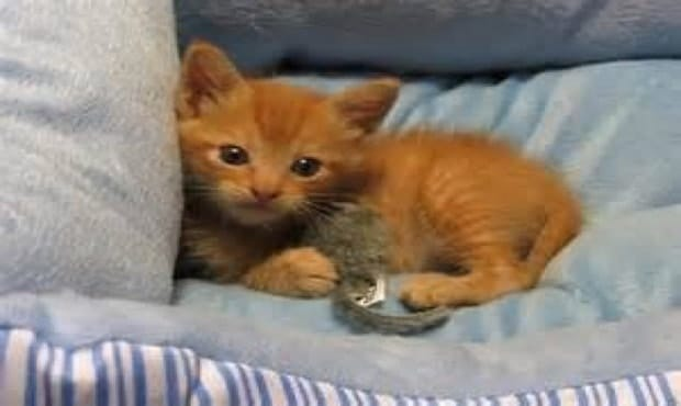 """""""Tripawd"""" Ginger Kitten Once on the Brink of Death, Then and Now …"""