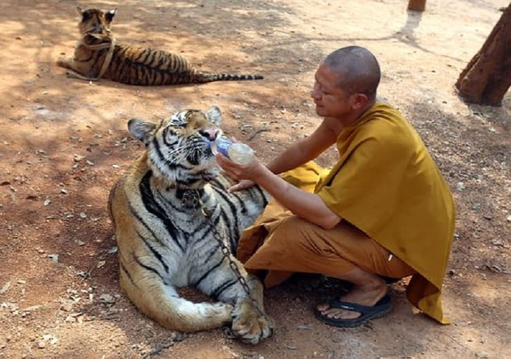 """A Thai Buddhist monk feeds water to a tiger at the """"Tiger Temple,"""" in Saiyok district in Kanchanaburi province, west of Bangkok, Thursday, Feb. 12, 2015. (Photo: Sakchai Lalit, AP)"""