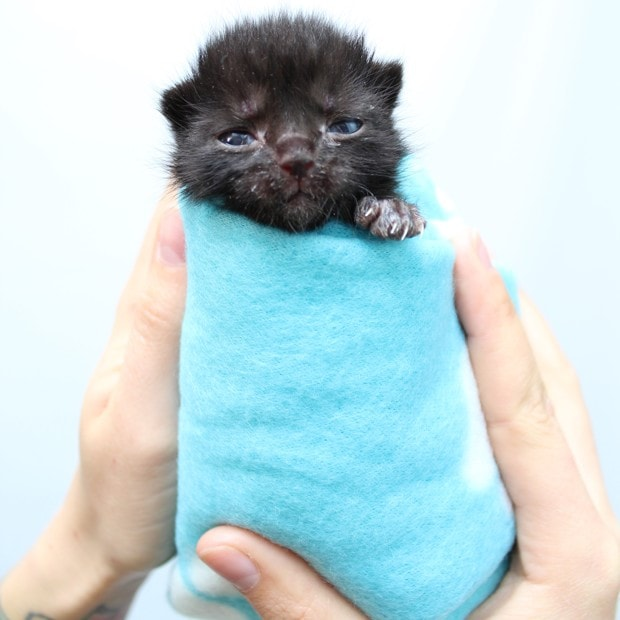 A kitten swaddled in a towel to stay warm. (Hannah Shaw)
