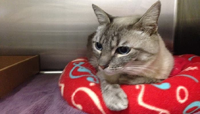 """A cat was jumpy but """"amazingly fine"""" after becoming trapped in a vehicle's bumper while it traveled about 8 miles in San Diego County on Feb. 24, 2016, animal services officials said. (Credit: County of San Diego Department of Animal Services)"""