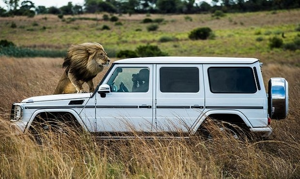 Motor show: A lion adopts a perfect model pose on the bonnet of the Mercedes