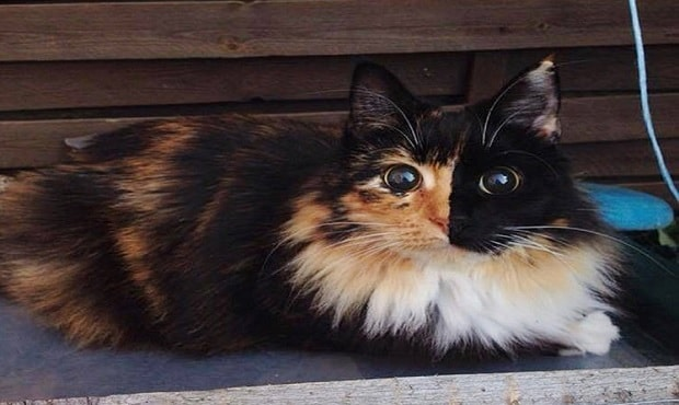 Blind Calico Cat Named Jasmine, Once Living on the Streets of France and Now….