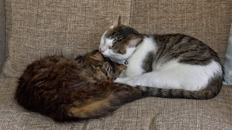 Grooming is a way for cats to reconfirm bonds. (Photo: Tom Lee/CC BY-ND 2.0)
