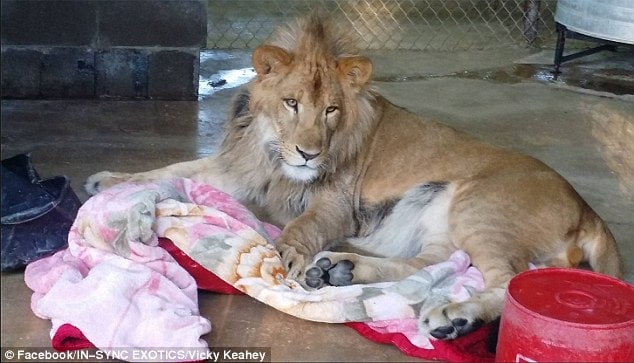 Keahey said that when he first stepped into his enclosure, he appeared to be curious and excited, but then he started to pace and showed signs of anxiety. Lambert was previously allowed to sleep in the bed with the children's grandfather