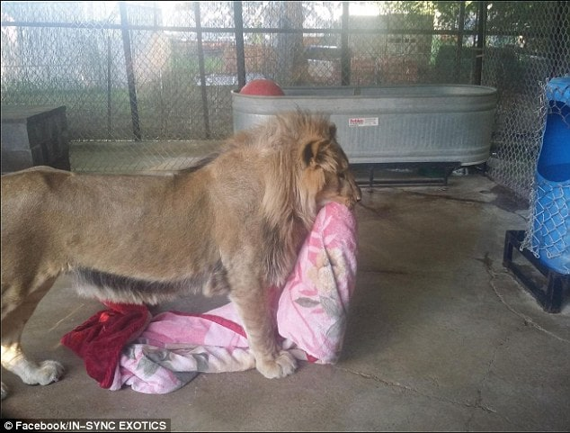 Keahey decided to give him a blanket when he first went into his enclosure. She said: 'He curled up on that blanket and he went right to sleep. Ever since then, I always give him a blanket'
