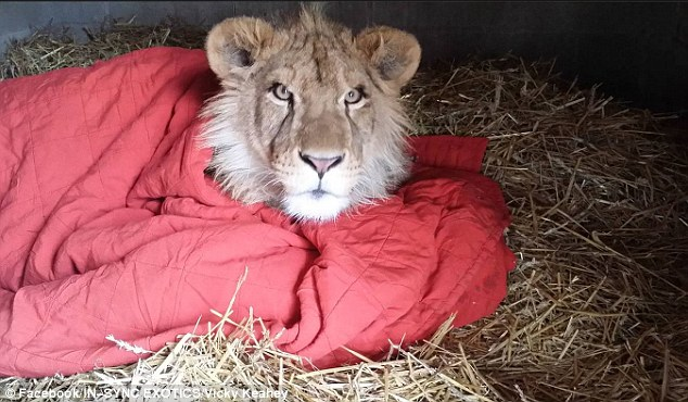 Young African Lion's Favorite Past-time … Burying Himself in Blankets!