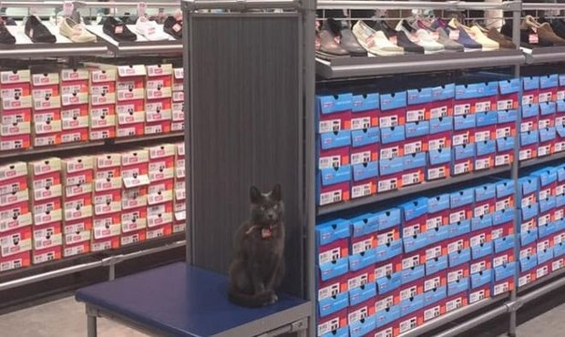 Gracie the Cat Walks Half Mile Every Day to Visit Shop, Doesn't Leave Until Closing Time!