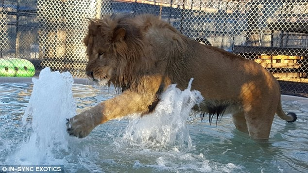 Since Lambert came to the rescue as a cub, employees have encouraged him to play in the water for relief during the summer heat that Texas is known to have