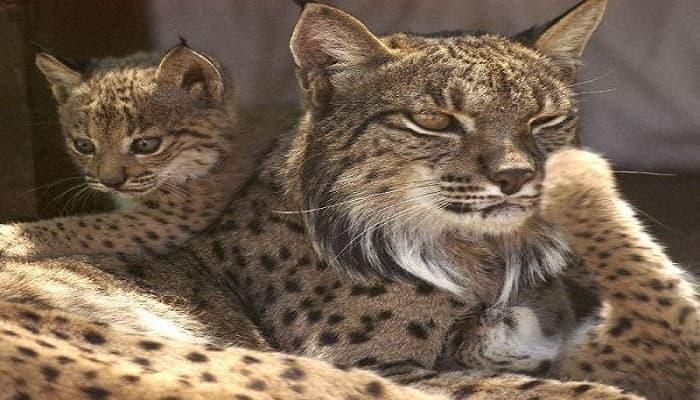 3 Lynx Kittens Born in Portugal!