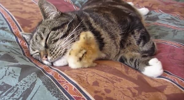 Cat Snuggles With Baby Chick, But Then .. Some time passes …. – VIDEO
