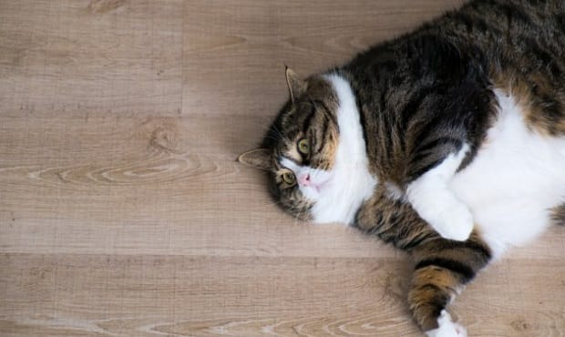 More Cats Than Ever Being Diagnosed With Type-2 Diabetes