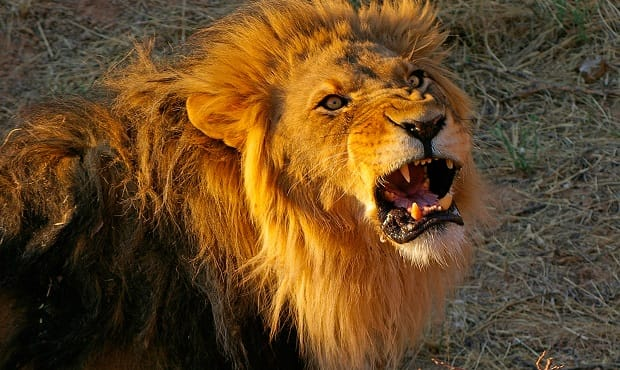 Devout Christian Charges Pride of Lions to Prove God Would Protect Him. Literally Ends Up Having His Butt ….