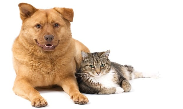 8 Breeds of Dogs That Get Along Well With Cats