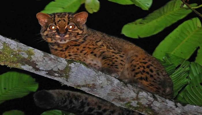 The Secret, Silent Lives of Marbled Cats in Borneo – PHOTOS!