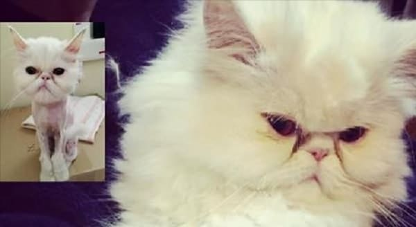 Stray White Persian Cat Named Cotton Candy and Her Amazing Transformation!