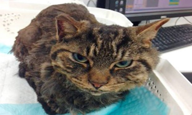 Distraught Hillsborough Mother Tells of Horrendous Attack on Pet Cat, Tiger …