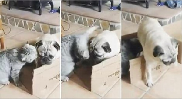 Luigi the Cat Simply Will Not Let Bandito the Pug Have A Box of His Own – VIDEO