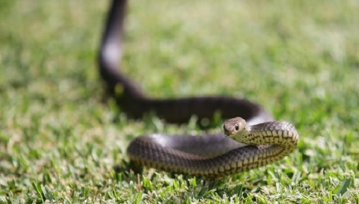 A number of eastern brown snakes have been sighted in the Campbelltown region this month. Picture: Phillip Rogers