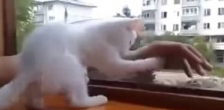 Cat Tries to Stop Man From Falling Out Window! - VIDEO