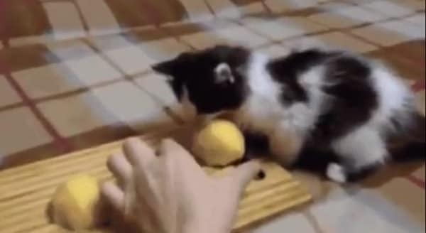 Kitten Steals Potato and Refuses to Give it Back! – VIDEO
