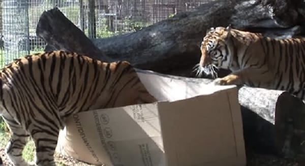 What Happens When You Give A Bunch of Boxes to Some Big Cats? – VIDEO