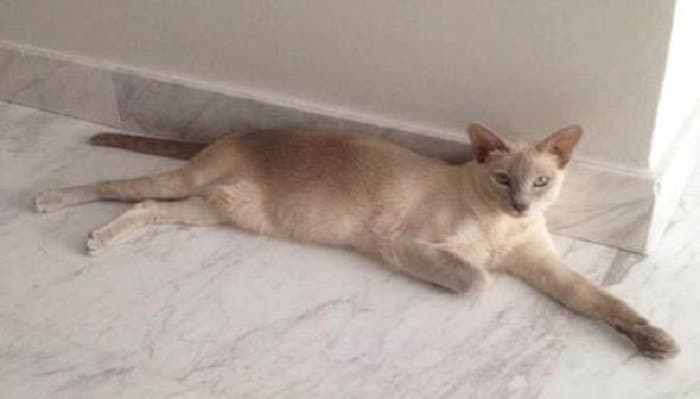 Sarah Graham-Ward's three-year-old Tonkinese cat, Darcy, disappeared just over a week ago