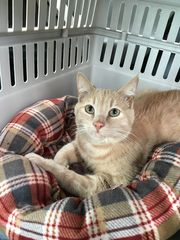 A submitted photo of Carson, a 2-year-old cat, who was found with two broken front legs, a broke jaw and scrapes on the roadside in Carson City. (Photo: Courtesy of Nevada Humane Society)
