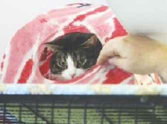 Greta hangs out in a T-shirt tent at SOS 4 Paws, a no-kill cat shelter in Lowell. SUN/Julia Malakie