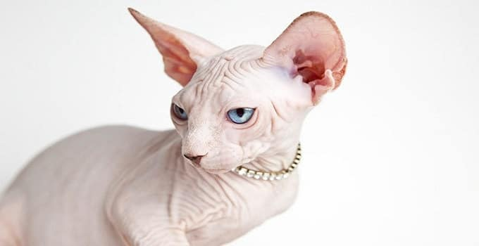 10 Most Expensive Breeds of Cats, From 10 to 1 …