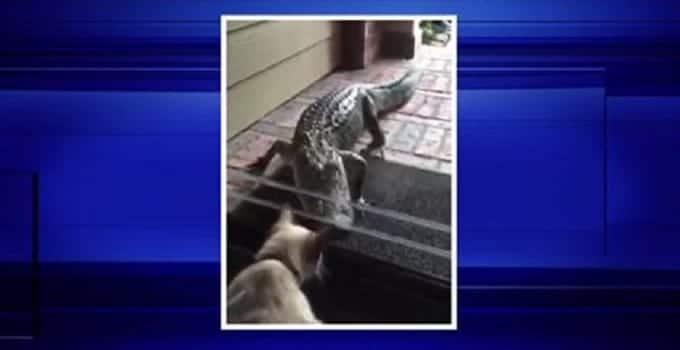 Cat Greets Alligator on Texas Porch! – VIDEO