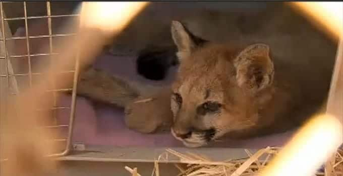Orphaned Mountain Lion Rescued in Arizona! – VIDEO