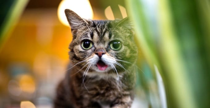 Celebrity guest cat Lil BUB will host Just For Cats April 14 in Toronto. The film festival, which is entirely devoted to internet cat videos, launches its third edition this year. (lilbub.com)