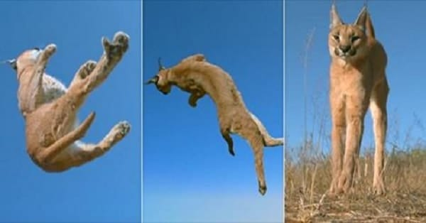 Incredible Slow Motion Video Clip Reveals Just How Cats Land on Their Feet!