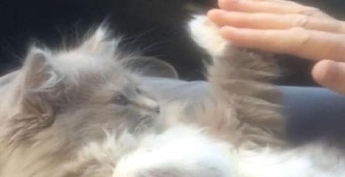 Lily, a Persian Kitty, Playing Patty-cake With Her Human! – VIDEO