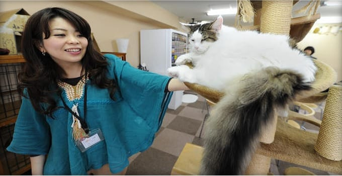 """A Japanese woman plays with a cat at a one of Tokyo's """"cat cafes,"""" Feb. 23, 2012.  GETTY"""