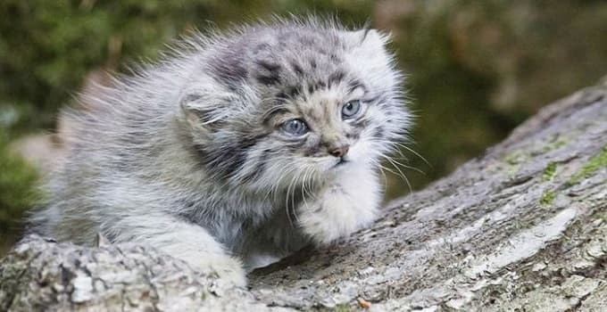 "Pallas's cats are classed as ""near-threatened"" by an international conversation body"
