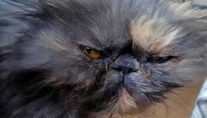 Blue Persian Survives Spin in Washing Machine