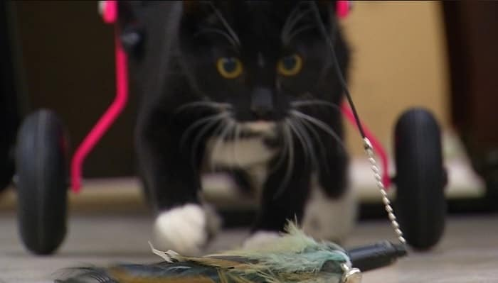 Partially Paralyzed Tuxedo Kitten Getting Used to Her New Legs, Needs Forever Home! – VIDEO!