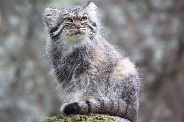 The wildcats are found in Iran, Mongolia and China