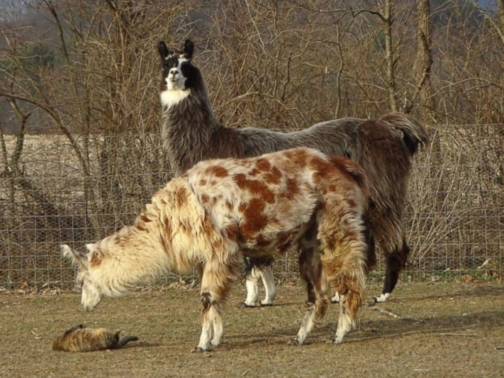 Sparkle the llama and Rosie the cat formed a special bond before being adopted by Farm Animal Rescue of Mifflinburg in Pennsylvania.