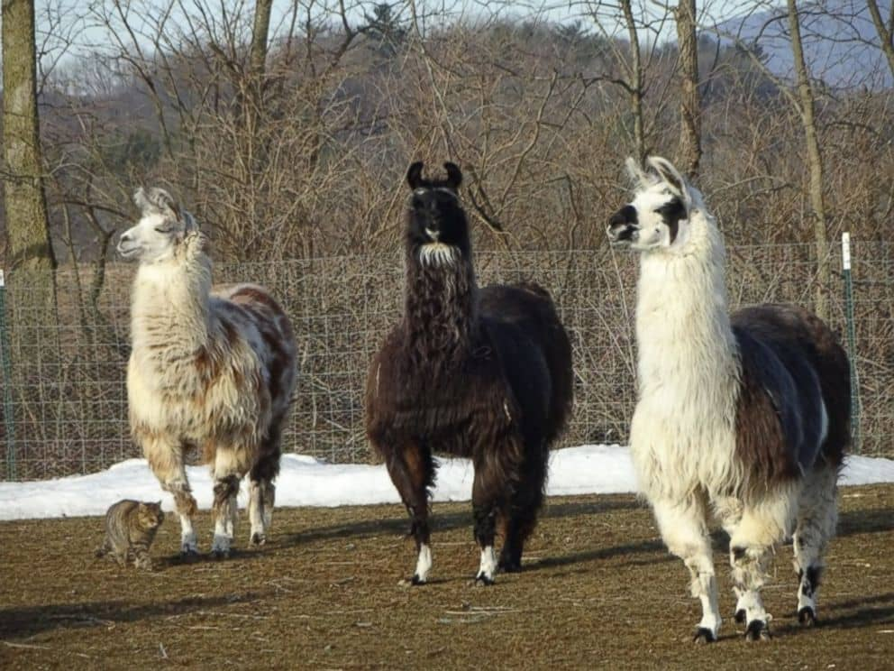 Sparkle the llama and Rosie the cat formed a special bond before being adopted by Farm Animal Rescue of Mifflinburg in Pennsylvania. The pair were brought by Roy Hernesh and his wife Lorie to the farm in September 2015.