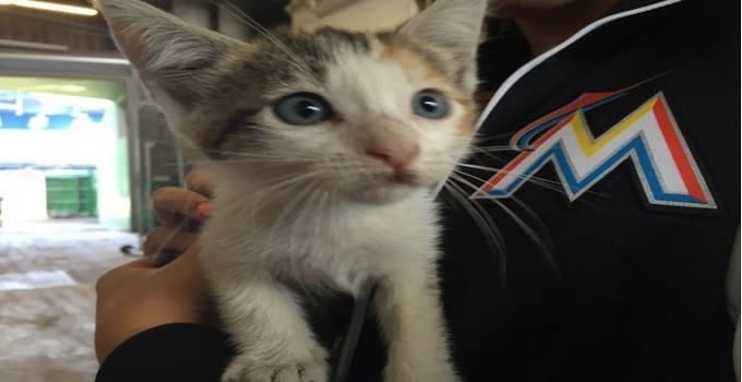Kitten Rescued From Sewer By Marlins Employee in Miami!
