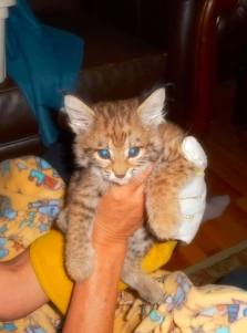 A bobcat kitten rescued in Alpine, Utah in 2015 and released into the wild in 2016. Image courtesy Utah Division of Wildlife Resources.