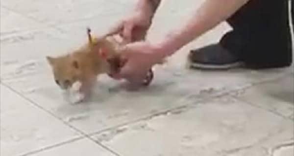 Abandoned, Paralyzed Kitten Zips Around in Toy Wheelchair! – VIDEO!