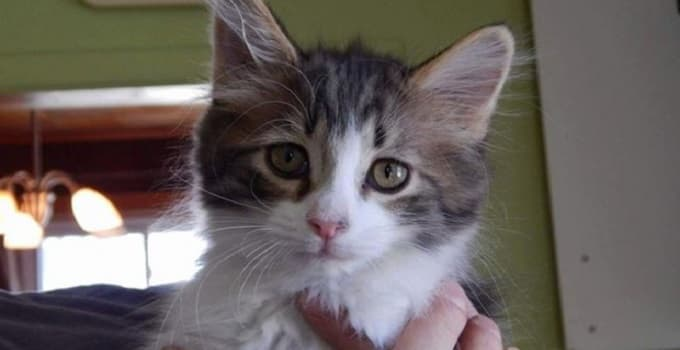 Kitten Rescued in Toronto, Only to Be Stolen By Creep From Pet Store!