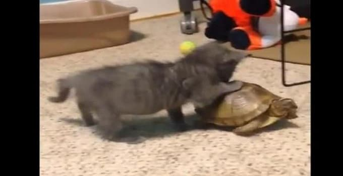 A blind kitten playing with a turtle. Screenshot: JukinMedia