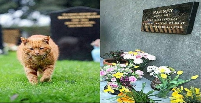 The Memory of Barney, the Cemetery Cat, Who Once Comforted Mourners, Is Commemorated!